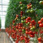 Docentes y estudiantes se capacitarán en la producción de tomate.